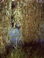 willow tree in the water by animal-liberation