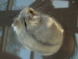 hamster 2.4 by meihua-stock