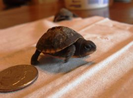 Baby Box Turtles by Rachet777