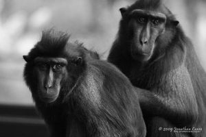 Macaques 1 by InsaneGelfling