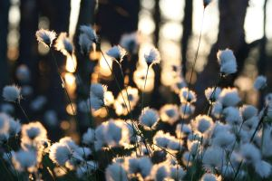 Cotton-Grass by briedis