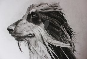 Afghan hound - charcoal portrait by Delvardian