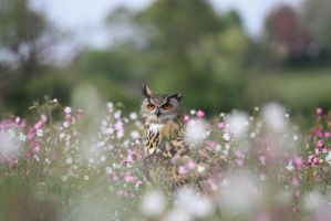 Owl in meadow flowers by AngiWallace