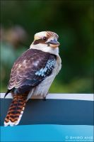 Laughing Kookaburra - 01 by shiroang