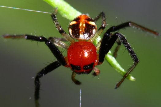 red cute baby spider by tatafanta