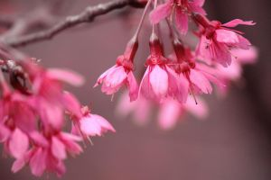 Sea of Pink Taiwan Cherries II by johnchan