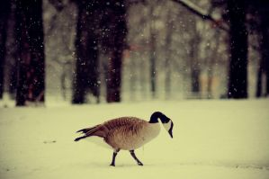A Goose Playing In The Snow by beyondimpression