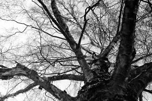Skywards Birch by BAproductions