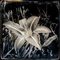 lily by vw1956