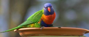 Rainbow lorikeets 2 by Tamamantix