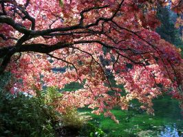 Japanese maple by Tea-Green-Grapes