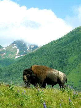 Mountain Buffalo by blimpaway
