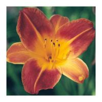 Flower - Daylily by dispirited