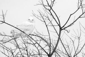 Snowy Owl on a Branch-DT6 4245-2 by detphoto