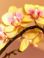Yellow Orchid by catiebop