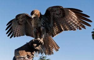 red tailed hawk stock by FeatheredSamurai