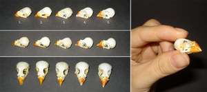 Zebra finch skulls for sale by Katran-and-Squfur
