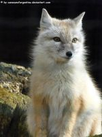 Corsac fox 3 by Cansounofargentina