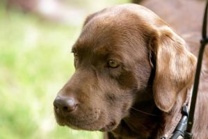 Brown Labrador Retriever Portrait by LuDa-Stock