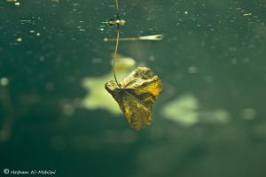 Amazing Leaf On The River... by Al-Msafer