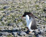 Antarctica :: 060 :: Gentoo Penguin by greenjinjo
