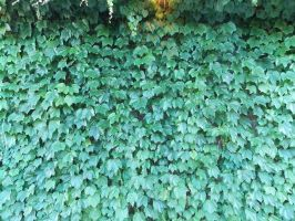 Wall of Vine by spider69n77