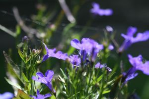 Violet flowers in the our garden by B-onDA