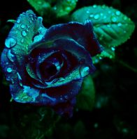 blue rose by finnevod