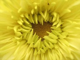 Heart of Chysanthemum by MalheureuxGarcon
