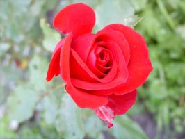 Red rose zoom by 6dragonfly9