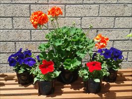 Petunias and Geranium by kayandjay100