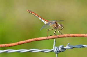 Dragonfly on wire by Lydiie