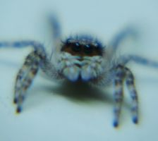 Jumping spider by bslirabsl