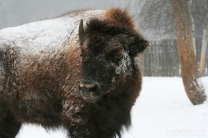 Bison VI by wroth