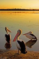 Pelicans Three by engridearty