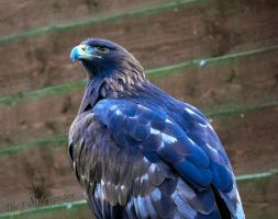 Golden Eagle - Aquila chrysaetos by TheFunnySpider
