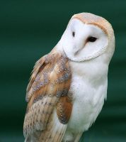 Tyto alba by DOLL00132
