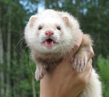 Cute ferret is cute:D by Panda-kiddie
