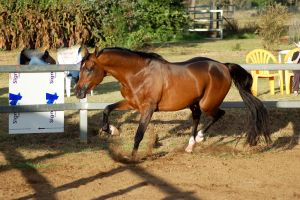 JA Arab Bay legs high trot about to turn by Chunga-Stock