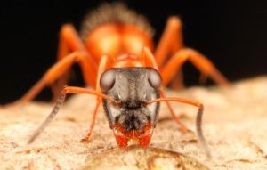 Black-headed Strobe Ant by oneofakindo