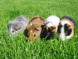 Guinea Pigs by sylver1984
