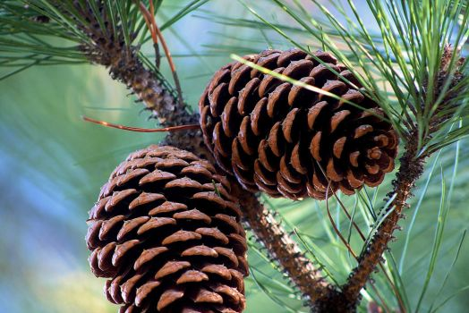 Pinecones! by TiaLeTurtlex3