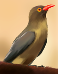 Red-Billed Oxpecker - Life Study by AlexanderHenderson