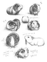 Guinea Pig Studies by meh-anne