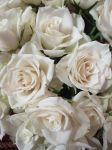 white roses by marob0501