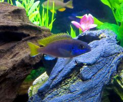 Pretty African Cichlid by Legrandzilla