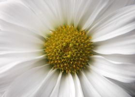 Heart of a daisy by LucieG-Stock