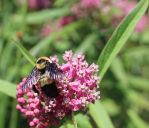 A Special Bombus by StarvingScientist