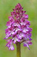 orchis purpurea by mescamesh