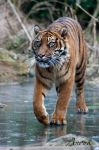 Tiger on thin ice... by Wereldreizigster